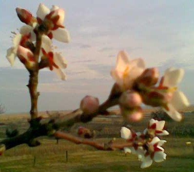 Mandelblüte am 12. Februar 2007