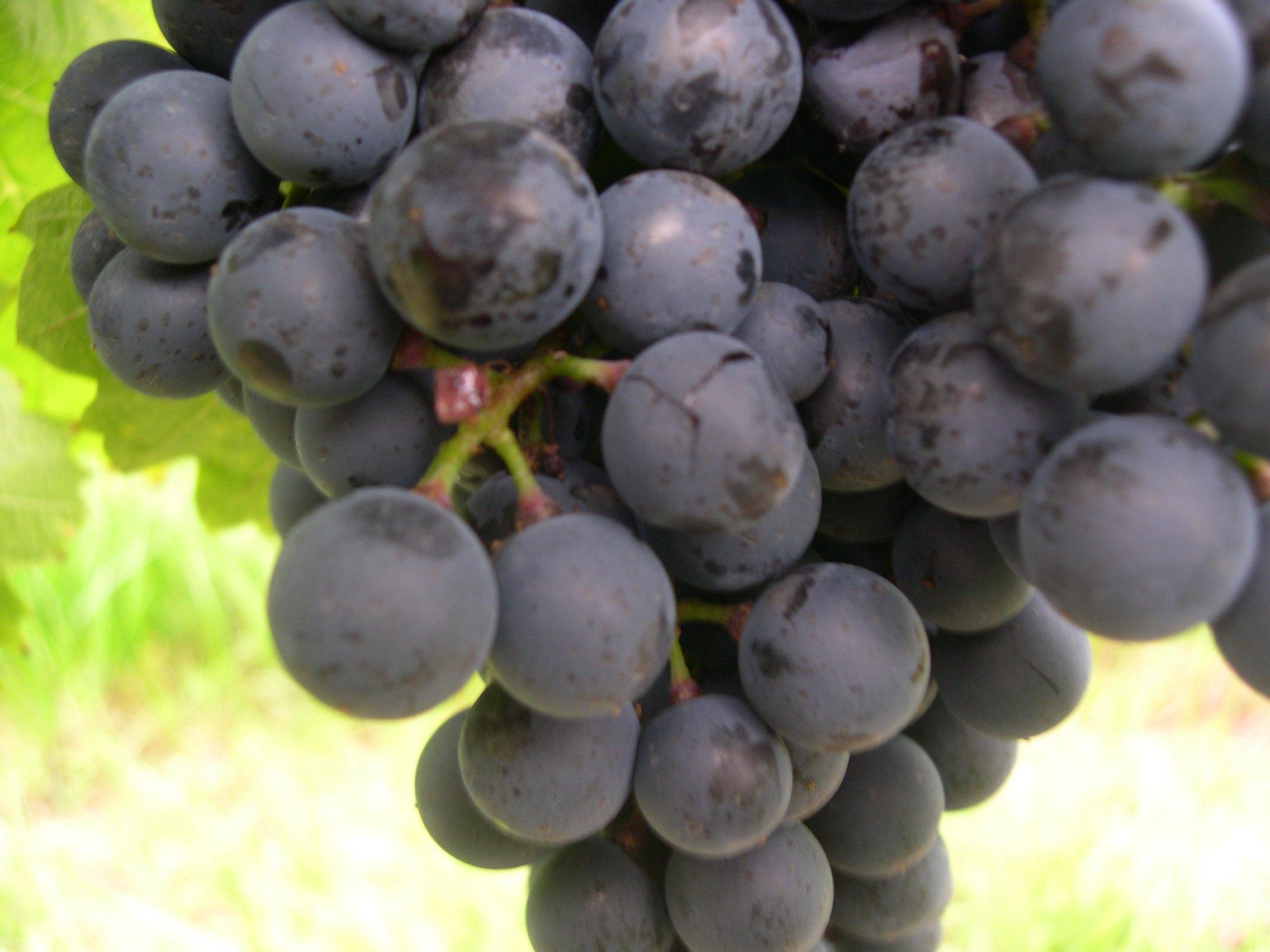 Blaufränkisch-Beere mit Botrytis im Anfangsstadium