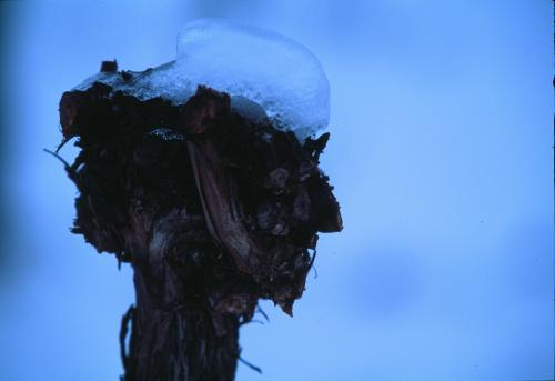 Rebstock mit Schneehaube