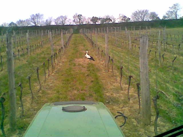 Der Storch im Weingarten