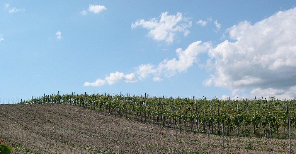 Weißburgunder-Junganlage 2003