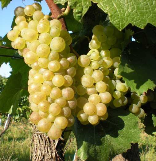 Pinot blanc 2009