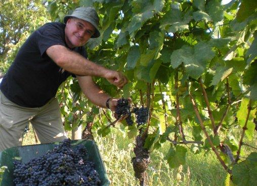 Gerhard Fiedler bei der Weinlese 2009