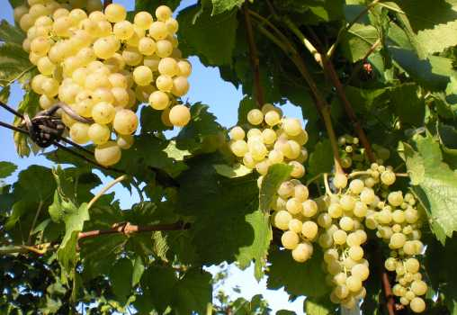 Pinot-Trauben