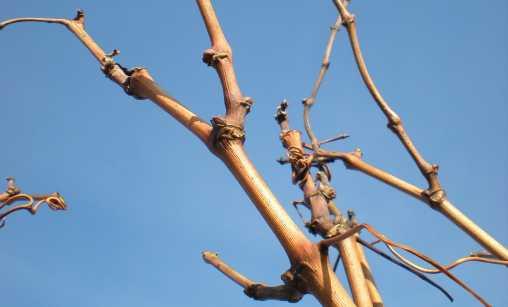 In den Knospen dieser Triebe schlummert die neue Ernte