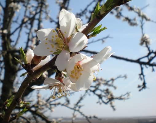 Mandelblüte 2 bearbeitet